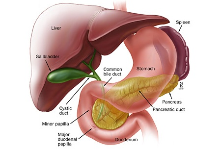 Stomach live pancreas spleen